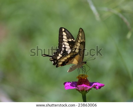 Papilio paeon commonly known as a  Swallowtail  butterfly at rest on pink flower, Ometepe Island, Nicaragua - stock photo