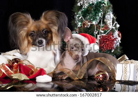 Papillon and  Toy Terrier  in a Christmas - Santa hat - stock photo