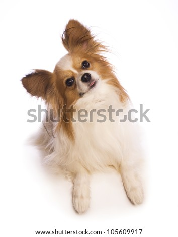 Papillon dog head cocked to the side isolated on white background - stock photo