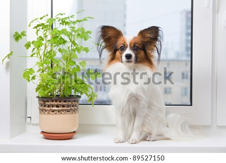 Papillon dog sitting on a plastic windowsill - stock photo