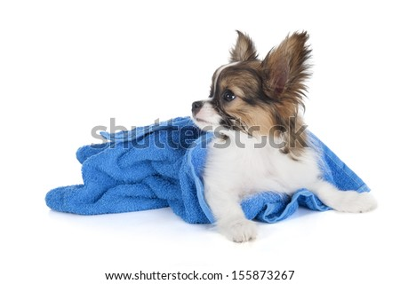 Papillon puppy in a towel on a white background in studio - stock photo