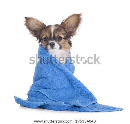 Papillon puppy in a towel on a white studio background - stock photo