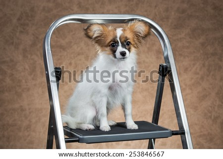 Papillon puppy sitting on a stepladder. Brown background - stock photo