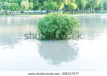 papyrus plants on the water with shadow. - stock photo