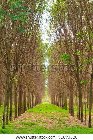 Para rubber tree garden in south of Thailand - stock photo