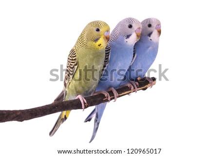 parakeets - stock photo