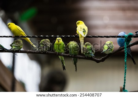 Parakeets perched on a rope and tree limb, budgerigars - stock photo