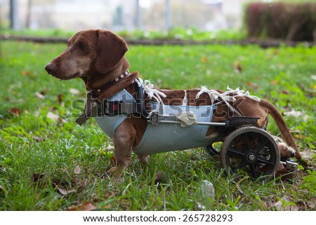 Paralyzed Handicapped Dachshund dog with wheels - stock photo