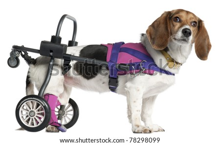 Paralyzed handicapped Mixed-breed dog, 8 years old, in front of white background - stock photo