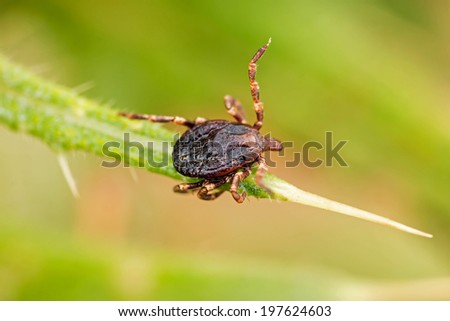Parasite tick on the grass - stock photo