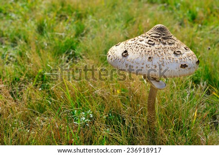 Parasol Mushroom - stock photo