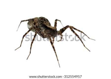 Pardosa wolf spider isolated on white. - stock photo