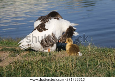 Parent geese with their young gosling. - stock photo