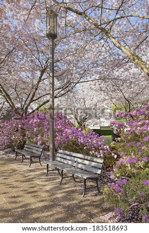 Park Benches by Lamp Post in the Park During Spring Time with Cherry Blossom Trees and Azalea Shrubs in Bloom - stock photo