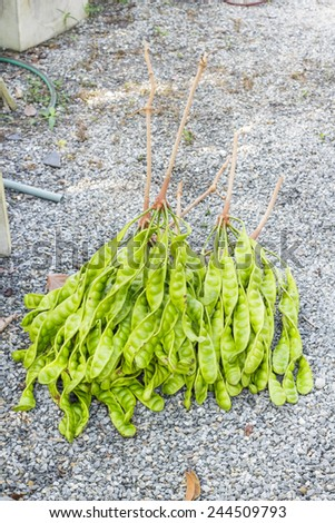 Parkia speciosa Organic or green beans, Fresh Bunch of Stink Beans, stink bitter bean Sato seeds, Twisted cluster bean vegetables - stock photo