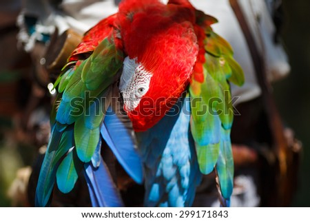 Parrot Ara cleans its wings close up - stock photo