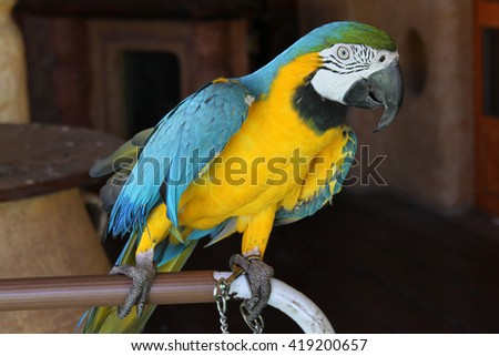 Parrot, Blue-and-Yellow Macaw/Parrot Ara Ararauna - stock photo