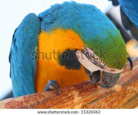 Parrot chewing on a stick - stock photo