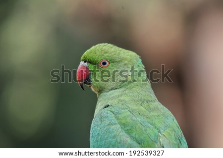 Parrot Portrait. Closeup shot of a rose ringed parakeet. Head, beak, neck in focus - stock photo