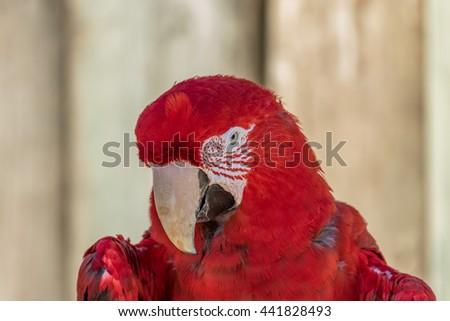Parrot. Red macaw. Macro photo. Portrait. Big beak. Multi-colored feathers - stock photo