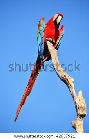 Parrot: scarlet macaw (ara macao) - stock photo