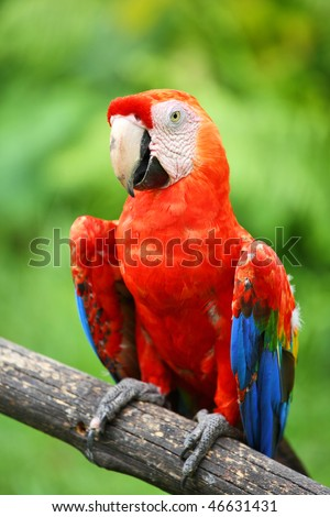 Parrot: scarlet macaw (ara macao) - stock photo