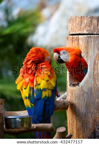Parrot Scarlet macaw on green natural background Colorful macaws on the tree  - stock photo