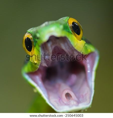 Parrot snake - stock photo