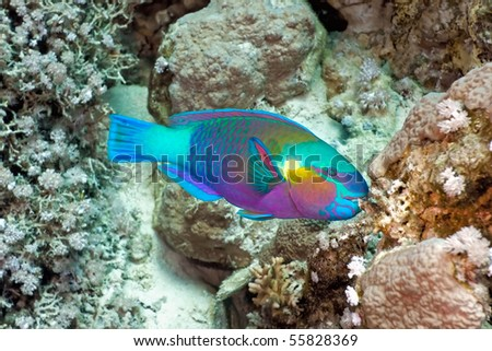 Parrotfish on the coral reef - stock photo