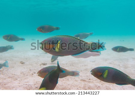 Parrots fishes - stock photo