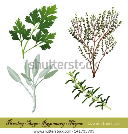 """Parsley, Garden Sage, Rosemary and Thyme. Classic herb blend immortalized in traditional English ballad """"Scarborough Fair"""". See other herbs and spices in this series. - stock photo"""