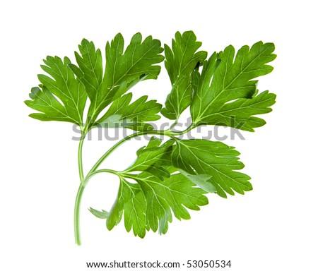 Parsley green leaf closeup on white background - stock photo