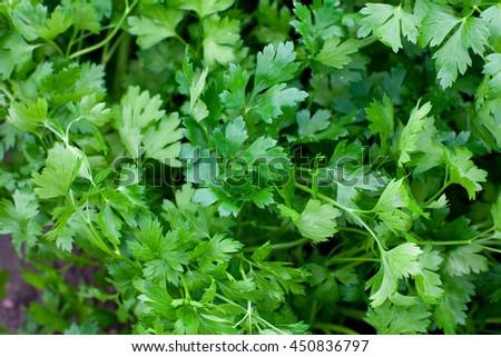 parsley growing - stock photo