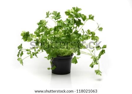 parsley herbs - stock photo