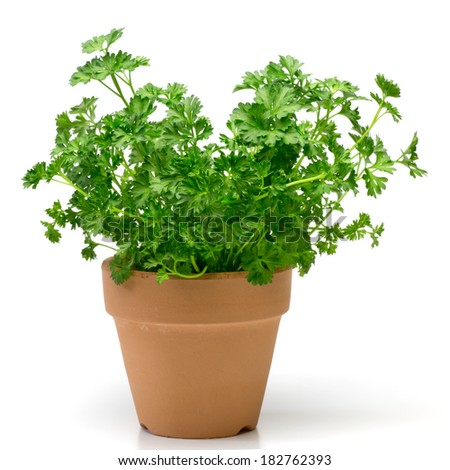 Parsley in a flowerpot - stock photo