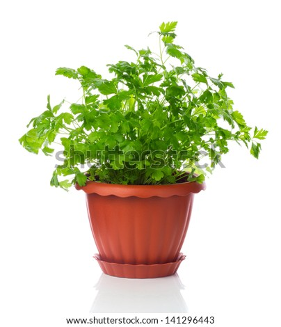 parsley in a pot isolated on white background - stock photo