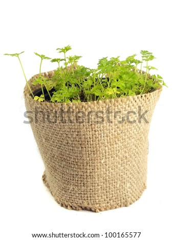 parsley in pot on a white background - stock photo