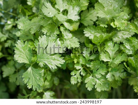 parsley leaves background. - stock photo