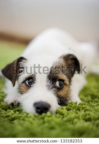 Parson and Jack Russell Terrier mix puppy - stock photo