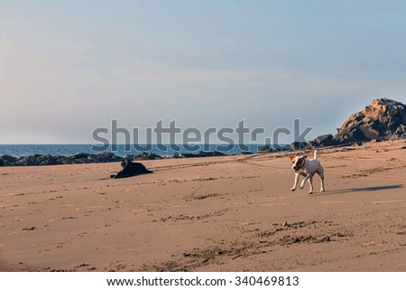 Parson Russell Terrier Female Dog Running With Speed On The Fine Sand Of The Beach In The Galapagos - stock photo