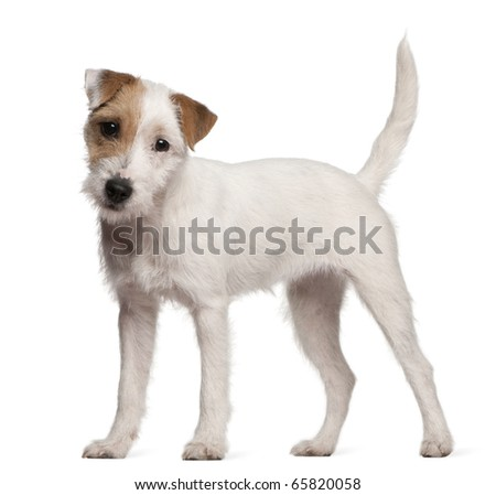 Parson Russell Terrier puppy, 6 months old, standing in front of white background - stock photo