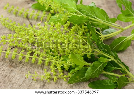 Part of Holy basil pile on wooden floor - stock photo