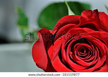 Part of red rose. Macro - stock photo