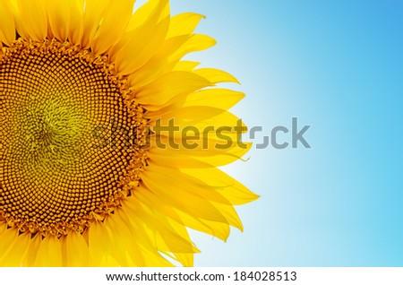 part of sunflower sun against - stock photo