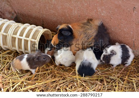 Parti-colored Abyssinian  Guinea pig mother feed hers cubs in Petting zoo. - stock photo