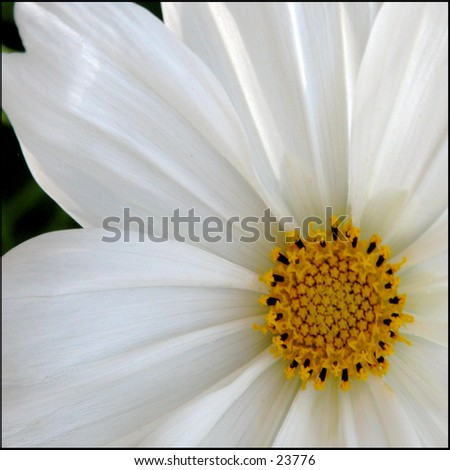 Partial view of a daisy lit from behind - stock photo