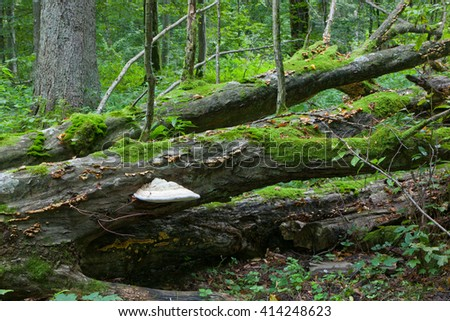 Partly declined broken old hornbeam tree with huge polypore fungi in fall, Bialowieza Forest,Poland,Europe - stock photo