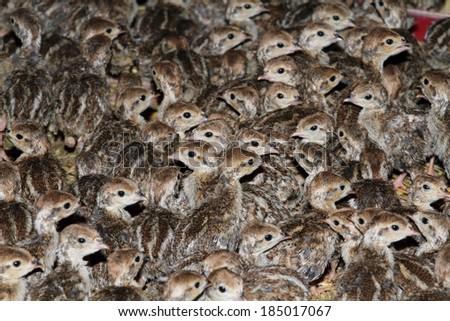 partridge and pheasant rearing chicks playing wild animals - stock photo
