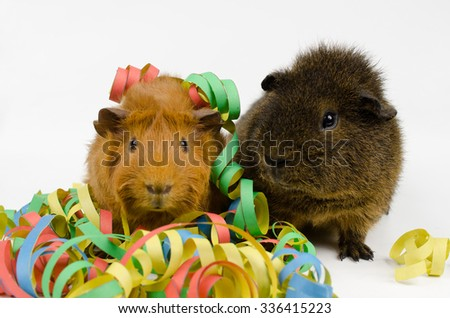 party animals (short haired peruvian and rex guinea pigs) - stock photo