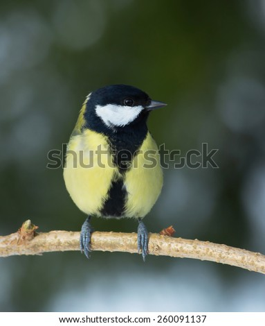 Parus major, Great tit. A common small bird, like to eat at the bird feeder in the garden - stock photo